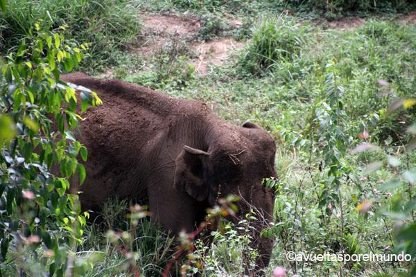 Montañas-Munnar-elefante-salvaje