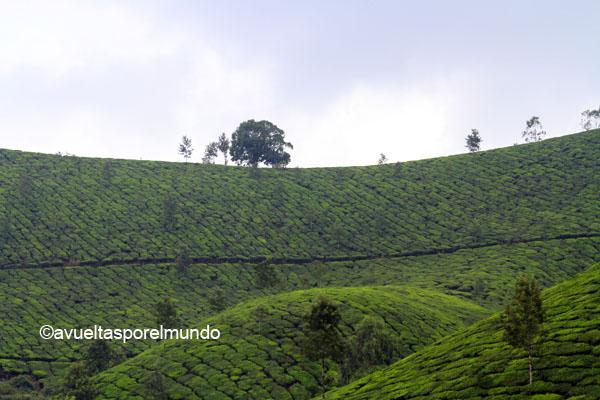Plantaciones-de-té-Munnar