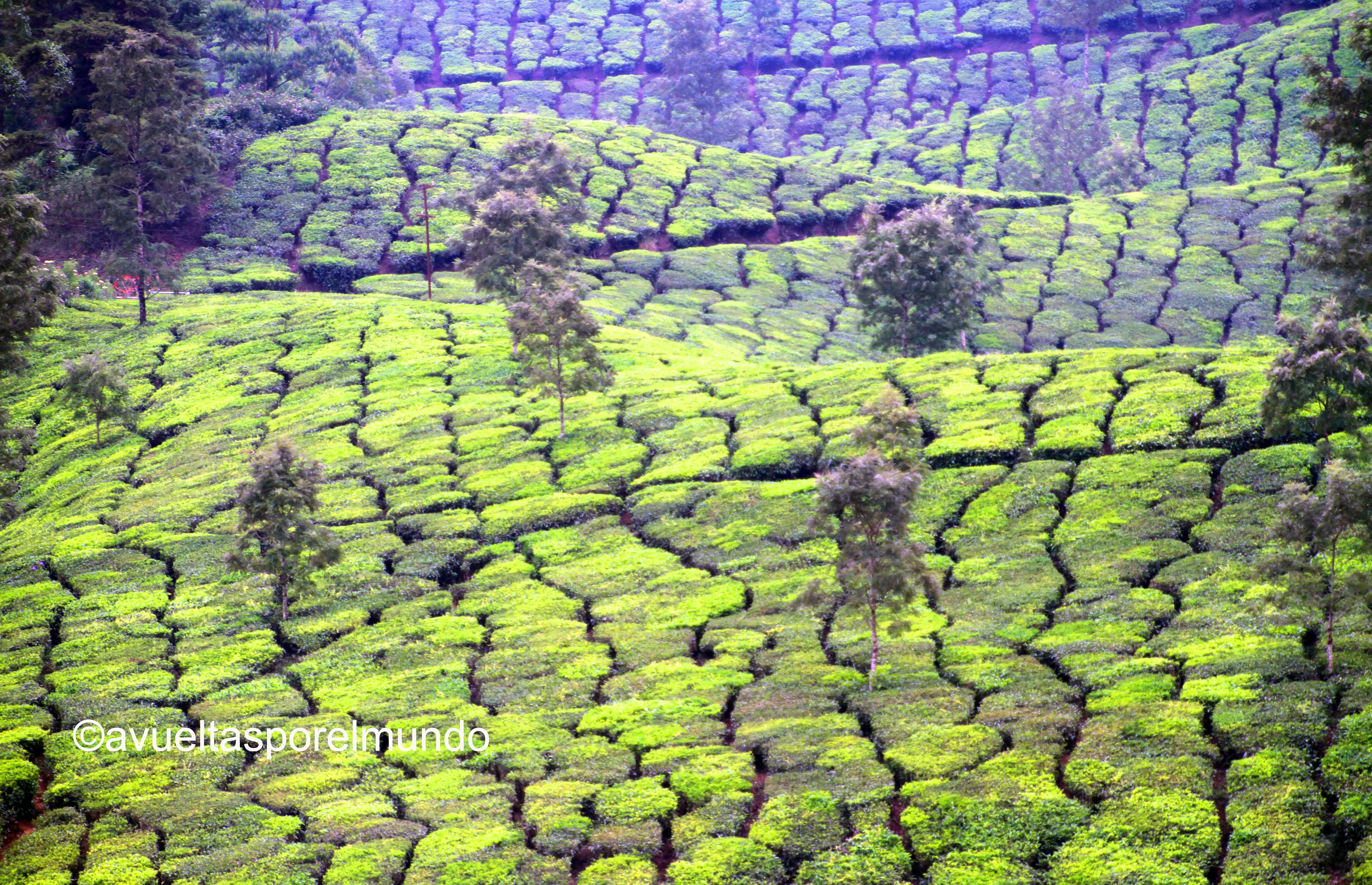 Montañas-Munnar-té